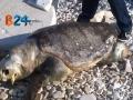 Carcassa-tartaruga-marina-1a