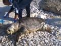 Carcassa-tartaruga-marina-4a