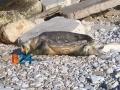 Carcassa-tartaruga-marina-7a