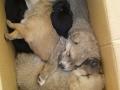 Cani cuccioli vigili-2