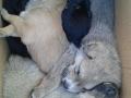 Cani cuccioli vigili-5