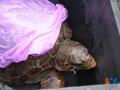 Liberazione tartarughe-4