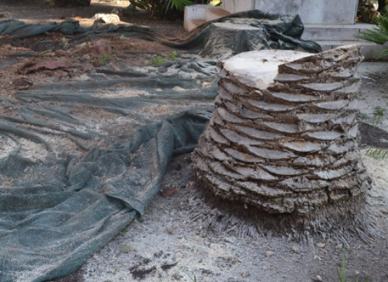 Punteruolo rosso, via una palma da Piazza Regina Margherita, ripulite e salvate quelle di Piazza Vittorio Emanuele II