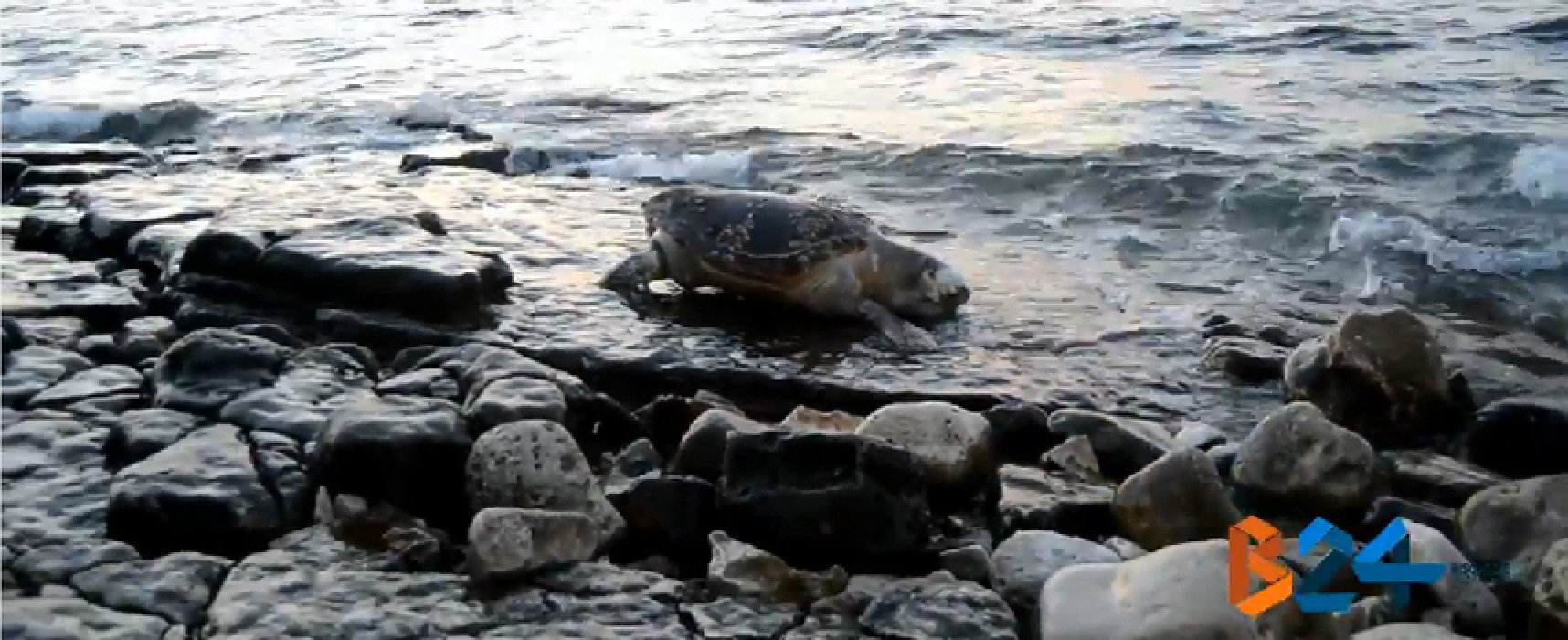 Tartaruga marina spiaggiata al Trullo verde / VIDEO