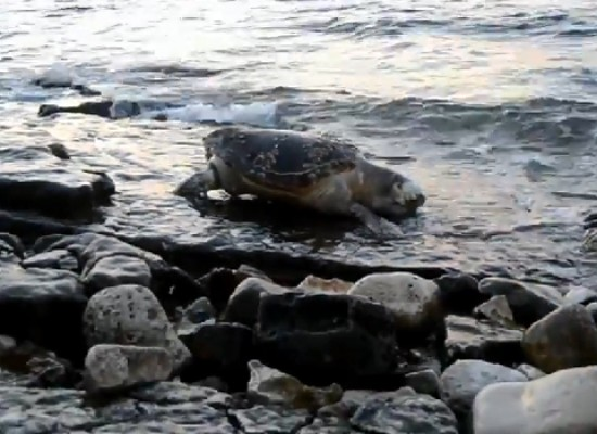 Rinvenute due carcasse di tartarughe marine sulle coste biscegliesi