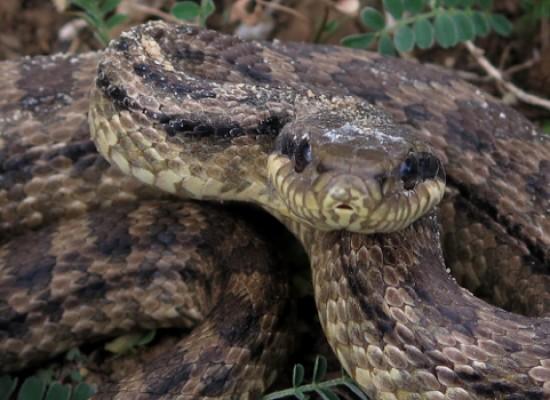 WWF Puglia, salvato giovane serpente cervone nell'agro biscegliese
