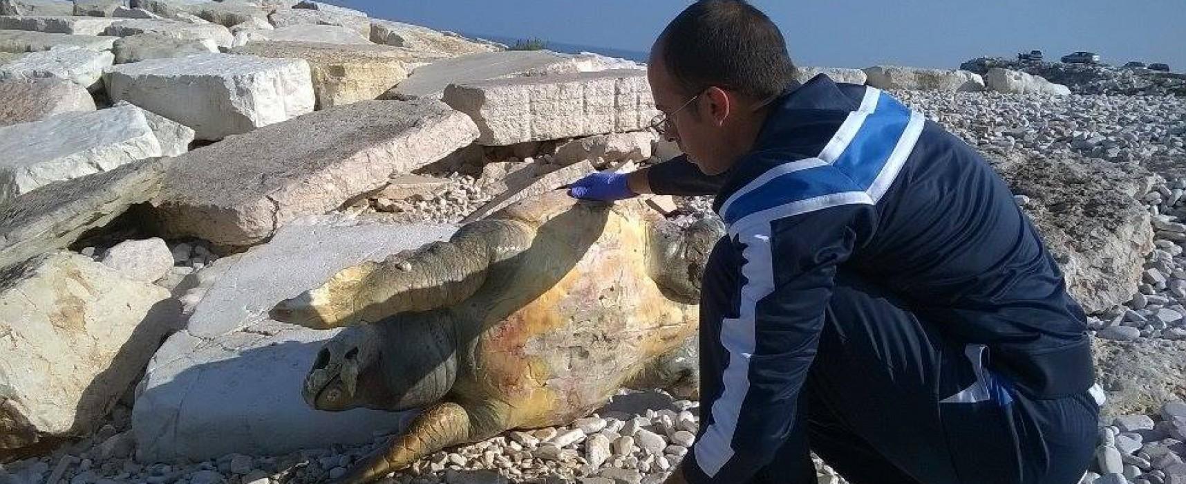 Carcassa di tartaruga marina rinvenuta stamattina sulla spiaggia in zona Bimarmi /FOTO