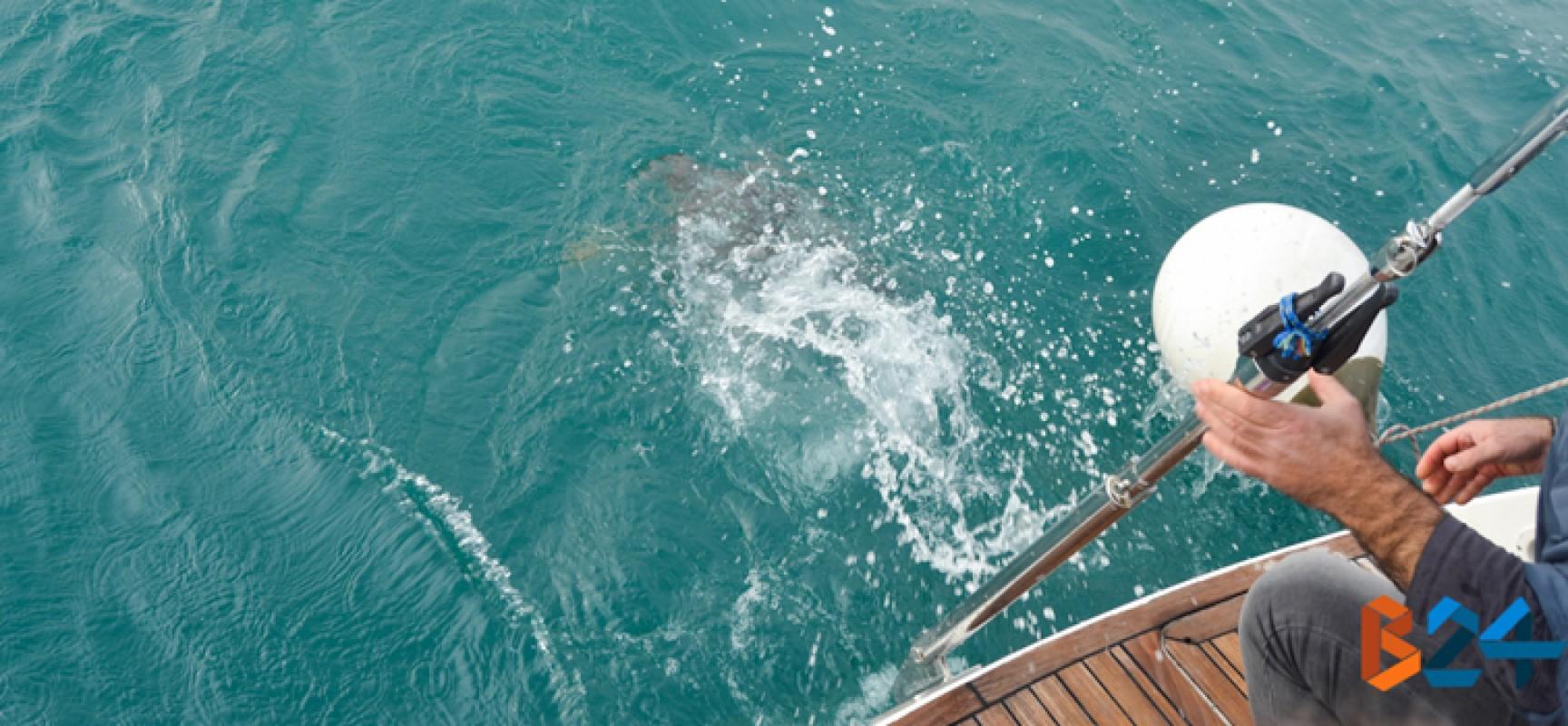 Liberate tre tartarughe marine caretta caretta al largo di Bisceglie / FOTO