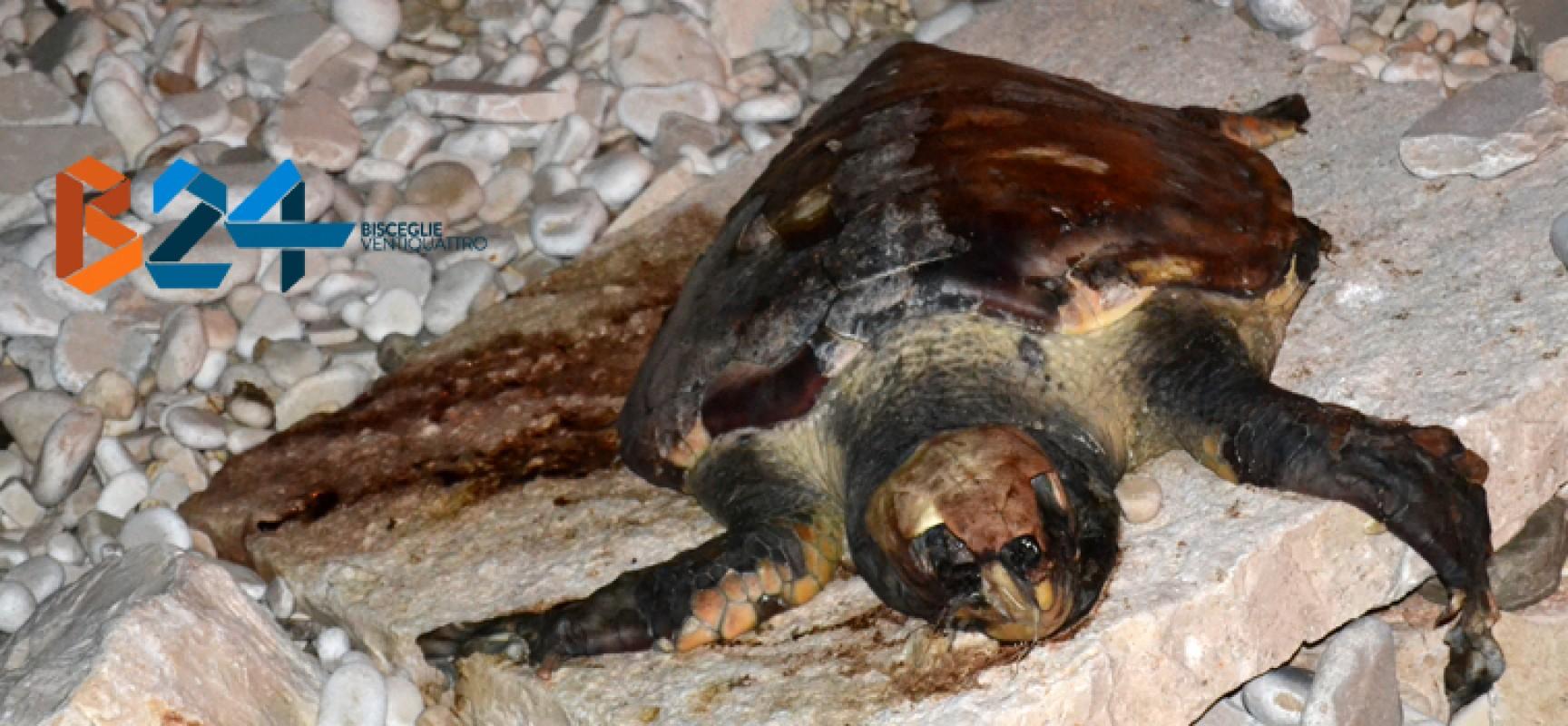 Ritrovata un'altra carcassa di tartaruga marina sulle coste biscegliesi
