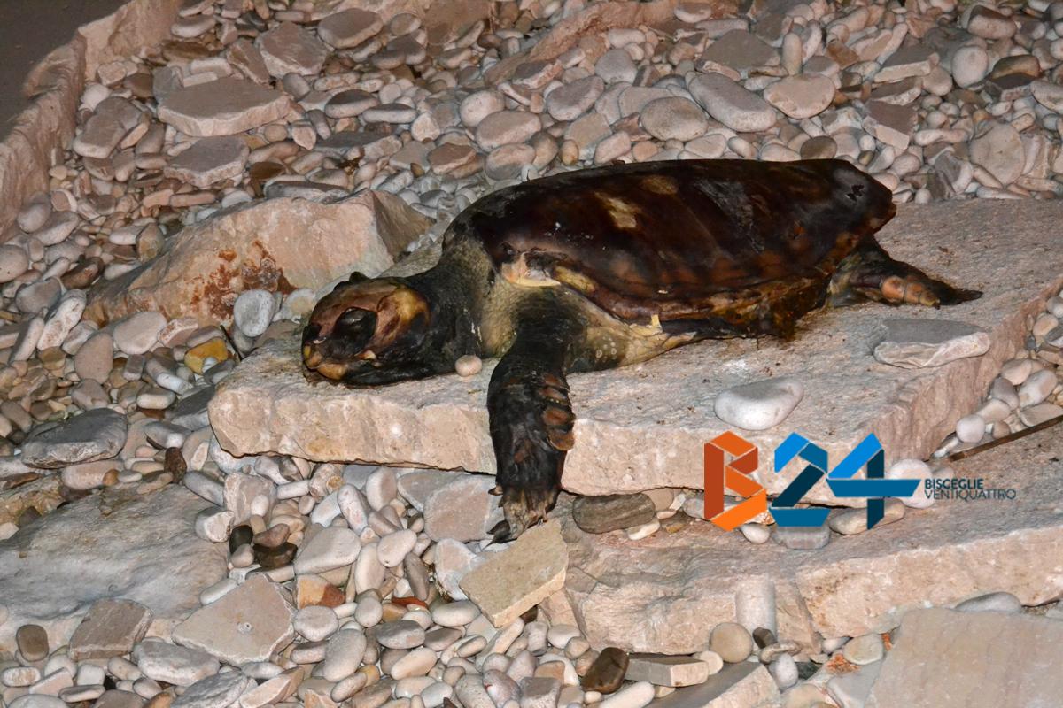 tartaruga spiaggiata decomposizione_int