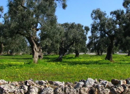 """""""Caro Ulivo, ti scrivo"""", otto autori raccontano l'olio e gli ulivi di Terra di Puglia / DETTAGLI"""
