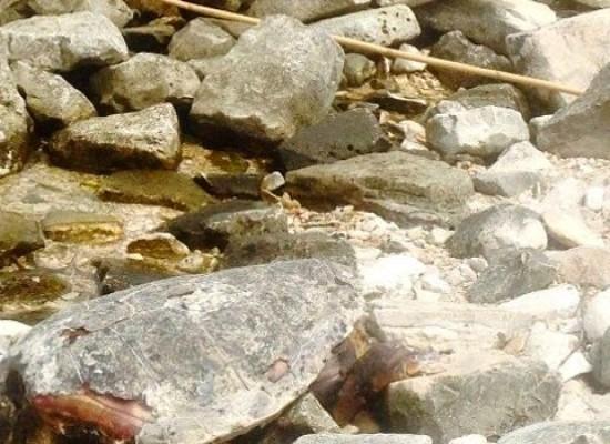 Carcassa di tartaruga marina ritrovata sulle coste biscegliesi