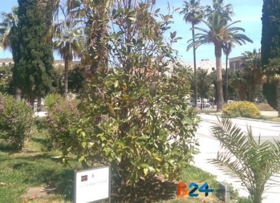 Albero di magnolia in memoria di Sergio Cosmai sempre più spoglio e secco / FOTO