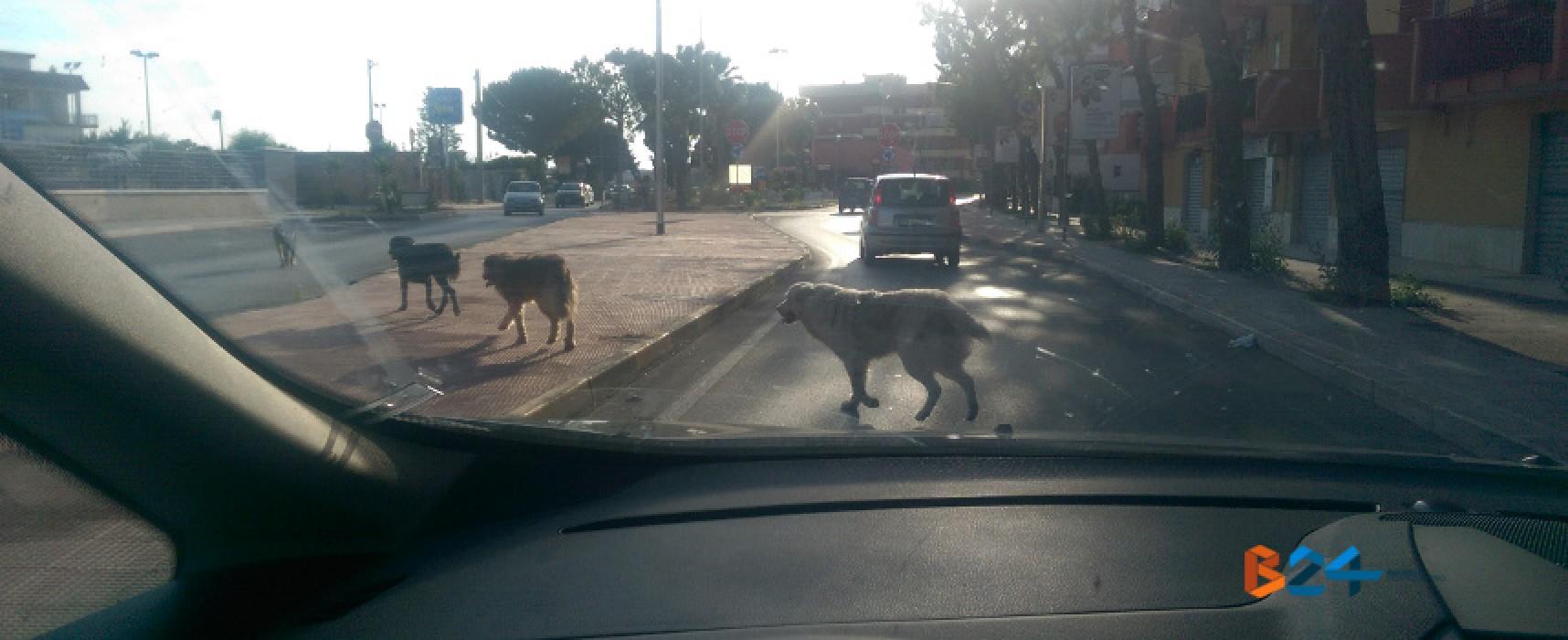 Branco di cani randagi su via Imbriani e via Dossena, il fenomeno randagismo è sempre vivo a Bisceglie
