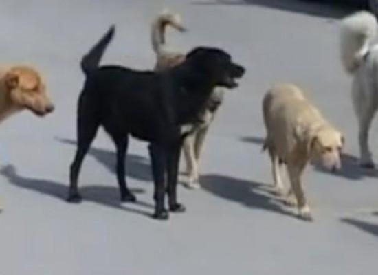 """Randagismo, un cittadino: """"Inseguito sotto casa da otto cani minacciosi"""""""