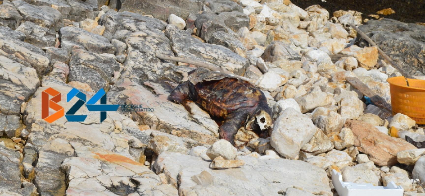 Carcassa di tartaruga spiaggiata da giorni a Ripalta, interviene Centro di Recupero Tartarughe / FOTO