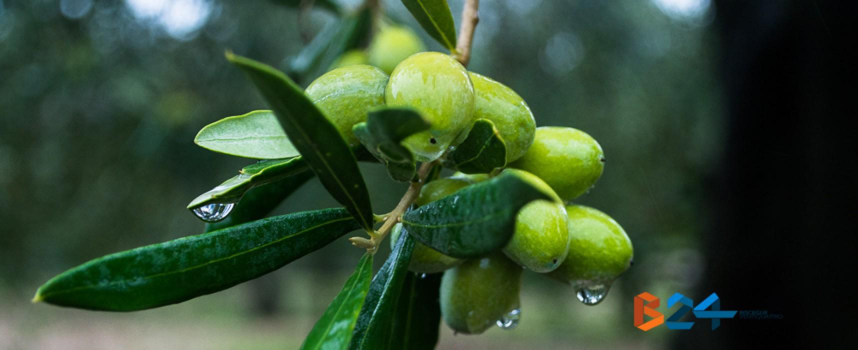 Oliva coratina a rischio, le nuove norme dell'UE penalizzerebbero l'olivicoltura locale