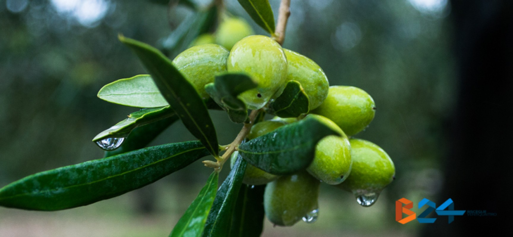 """Il Presidente Bat Giorgino: """"crisi del settore olivicolo, il Parlamento non mostra sensibilità"""""""