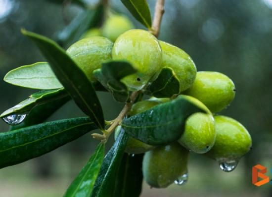 Importazione olio tunisino e nuova stagione olearia, la parola ai frantoiani / VIDEO