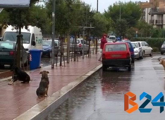 Branco di randagi tra via Di Vittorio e via Bovio, cittadini ed esercenti preoccupati per la situazione / FOTO