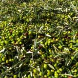 Sventato furto di un notevole quantitativo di olive dalle Guardie Campestri