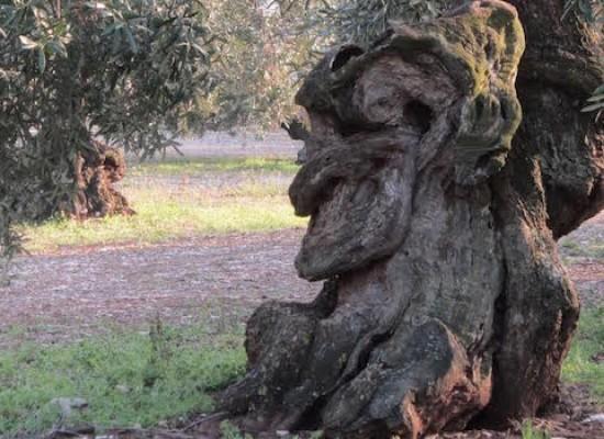 Asta pubblica della Provincia per la vendita degli ulivi da espiantare sulla Andria-Bisceglie