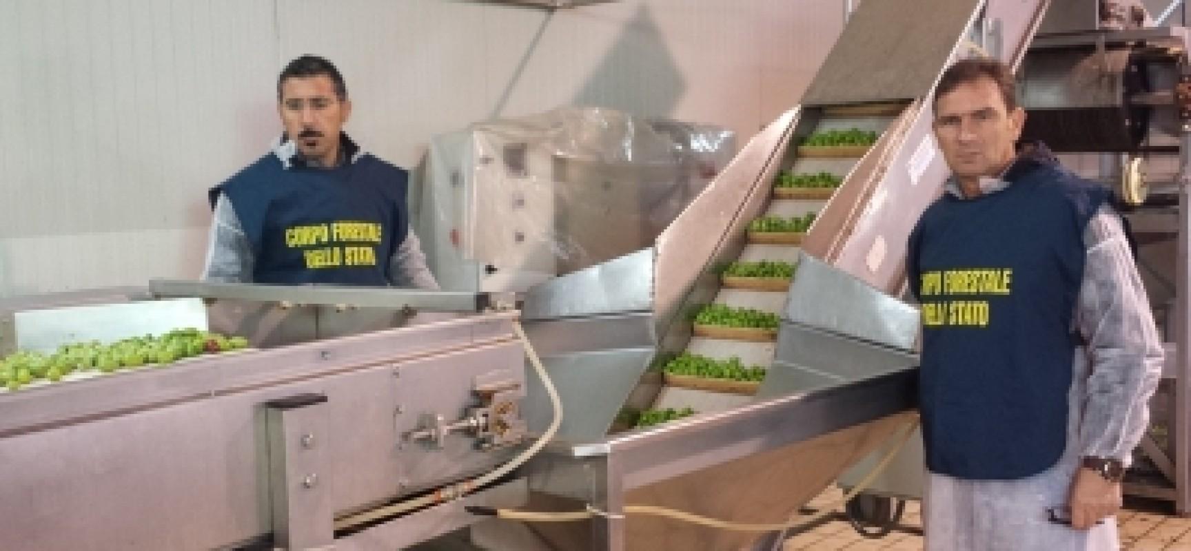 """Sequestrate 10 tonnellate di olive """"verniciate"""" e pericolose: nei guai anche azienda di Bisceglie"""