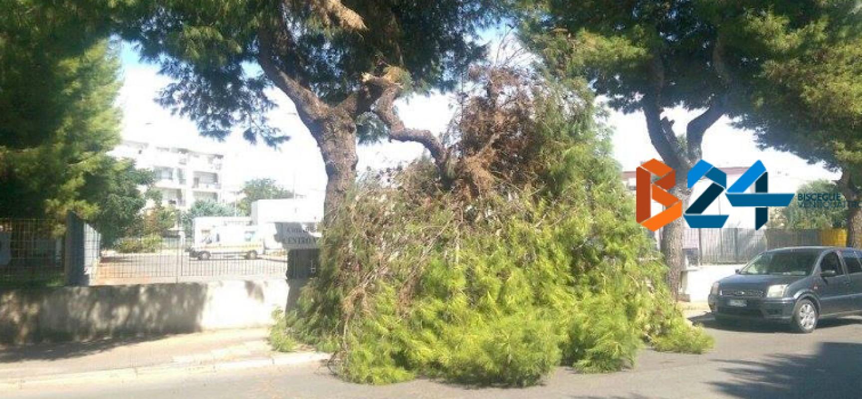 Grosso ramo si stacca da un albero in via Di Vittorio, intervengono i vigili del fuoco / FOTO