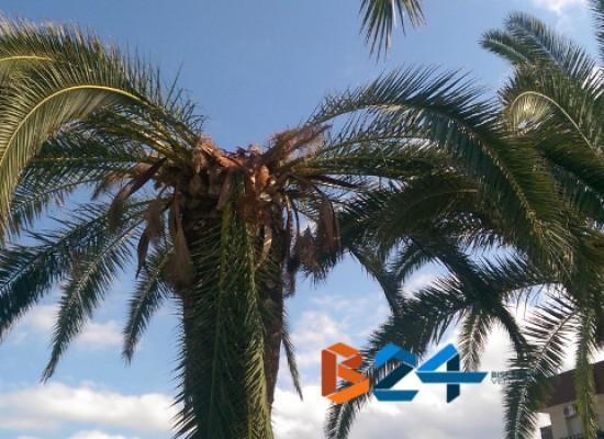 Cade grosso ramo di palma in zona sant'Andrea, sospetto caso di punteruolo rosso