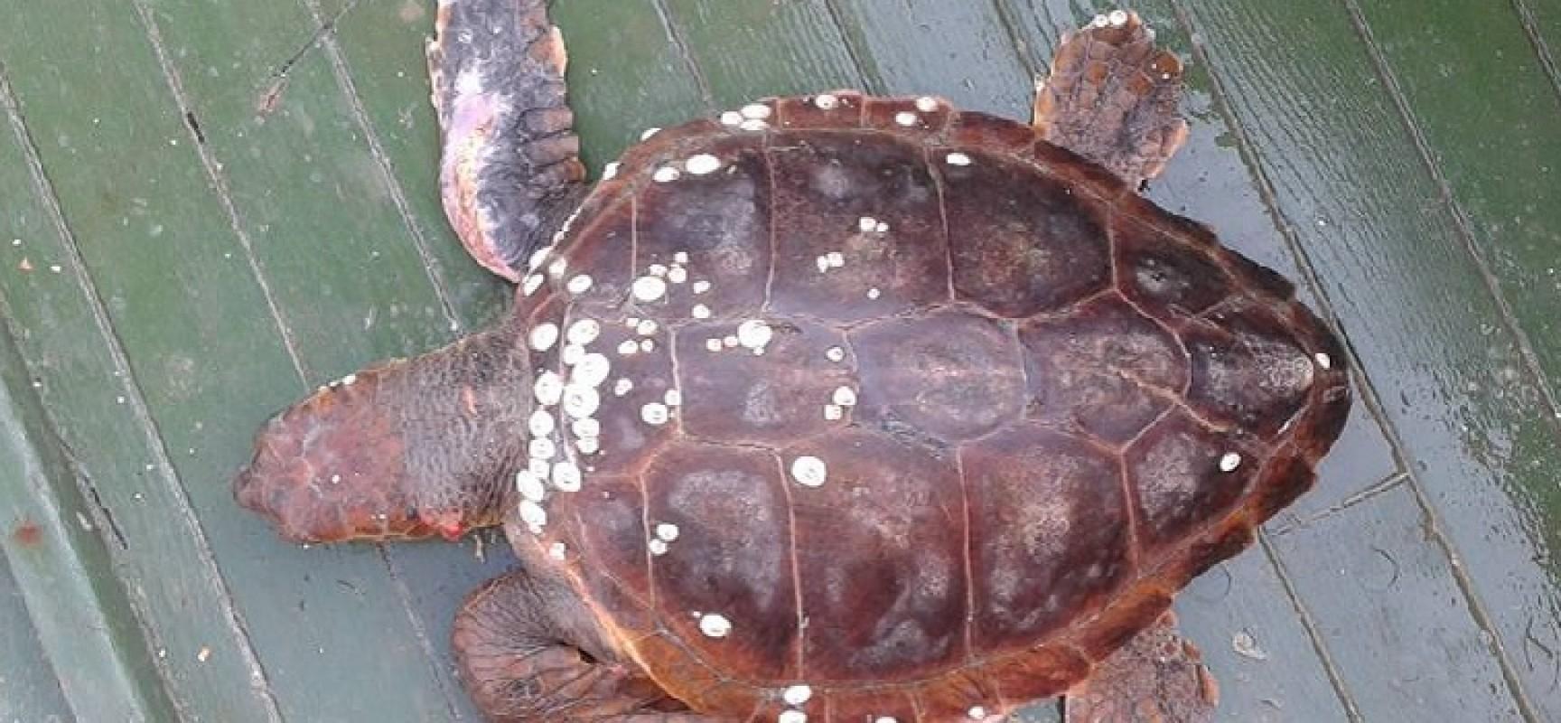 """Tratto in salvo dal peschereccio """"Angela Madre"""" un esemplare di tartaruga marina"""