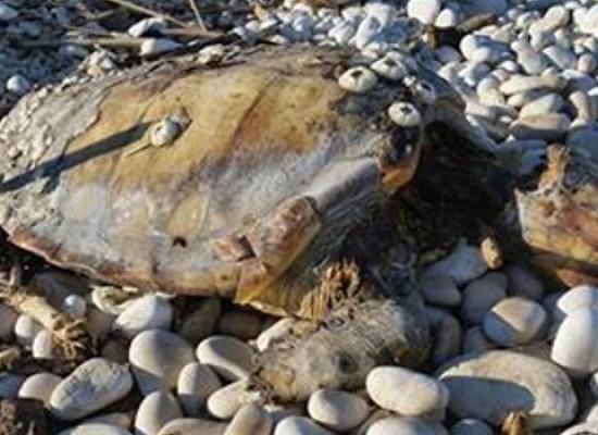 """Carcassa di tartaruga marina ritrovata alla spiaggia """"La Torretta"""""""