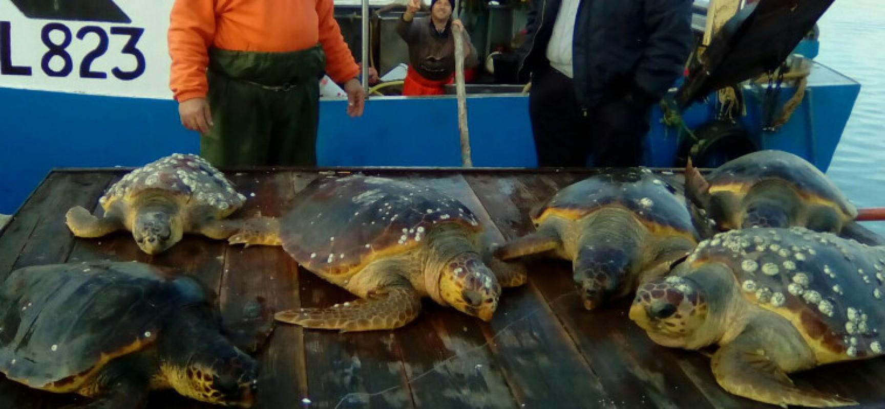 Recupero record di 18 tartarughe marine ad opera delle marinerie di Bisceglie e Trani / FOTO