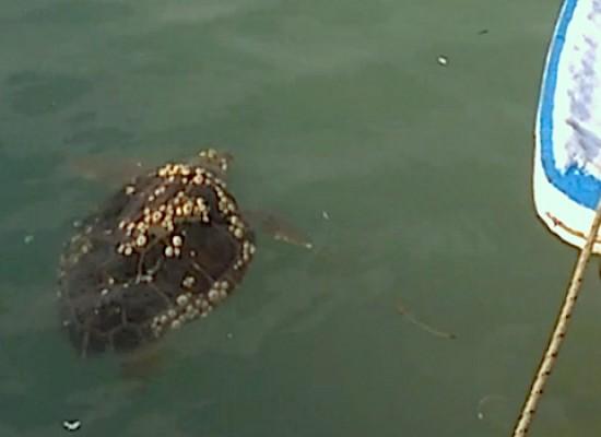 Recuperate due tartarughe nel porto grazie a segnalazione di cittadini. Una in gravi condizioni