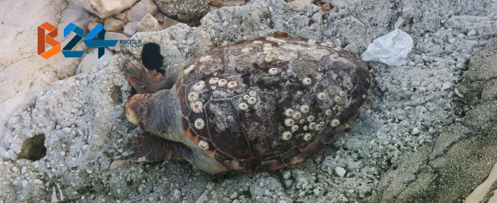 Ritrovata ieri mattina carcassa di tartaruga nella zona di levante