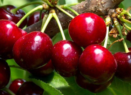 """""""L'innovazione varietale del ciliegio"""", domani convegno e presentazione di nuove cultivar internazionali"""