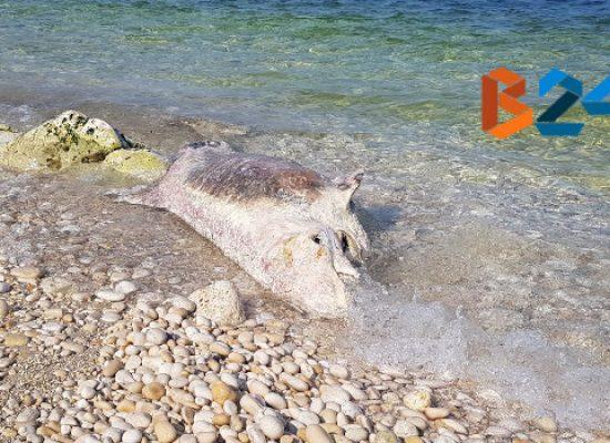 Carcassa di delfino ritrovata sulla spiaggia di Ripalta / FOTO