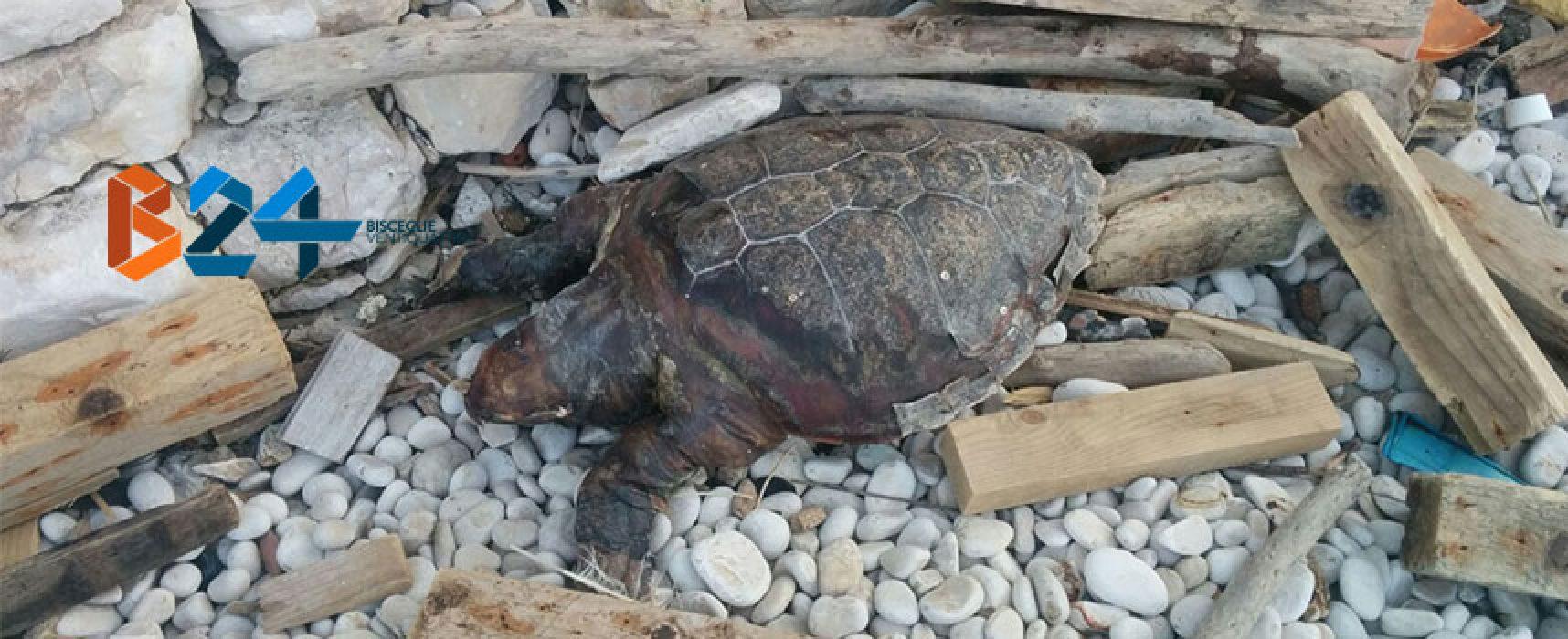 Carcassa di tartaruga ritrovata in zona Salsello