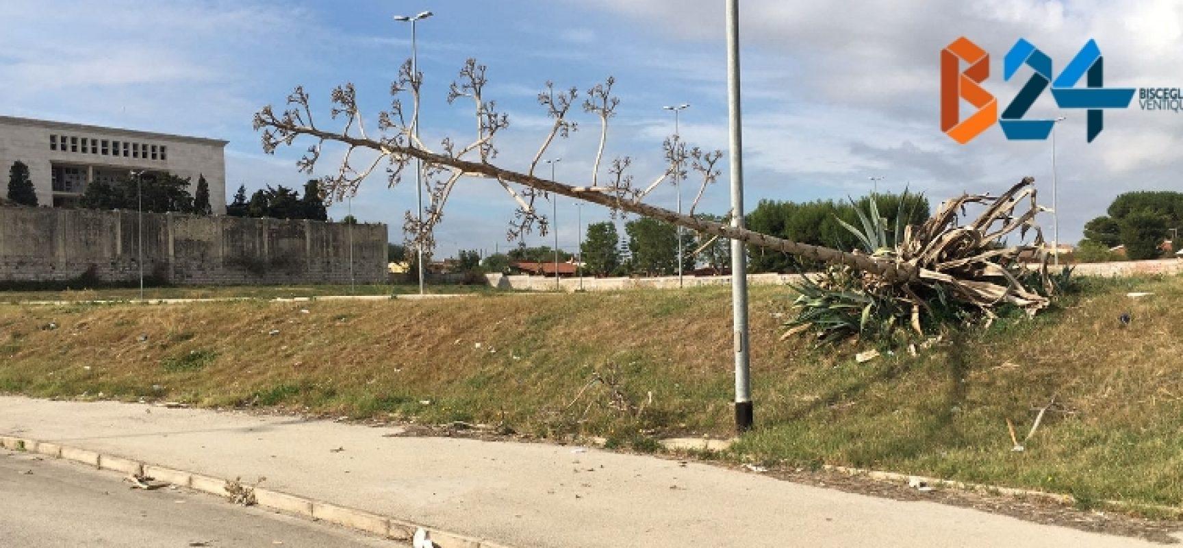 Rimosso il fiore d'agave inclinato nel parcheggio di Conca dei Monaci