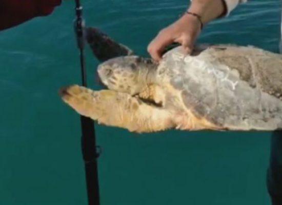 Liberate 4 tartarughe marine nelle acque al largo di Bisceglie / VIDEO