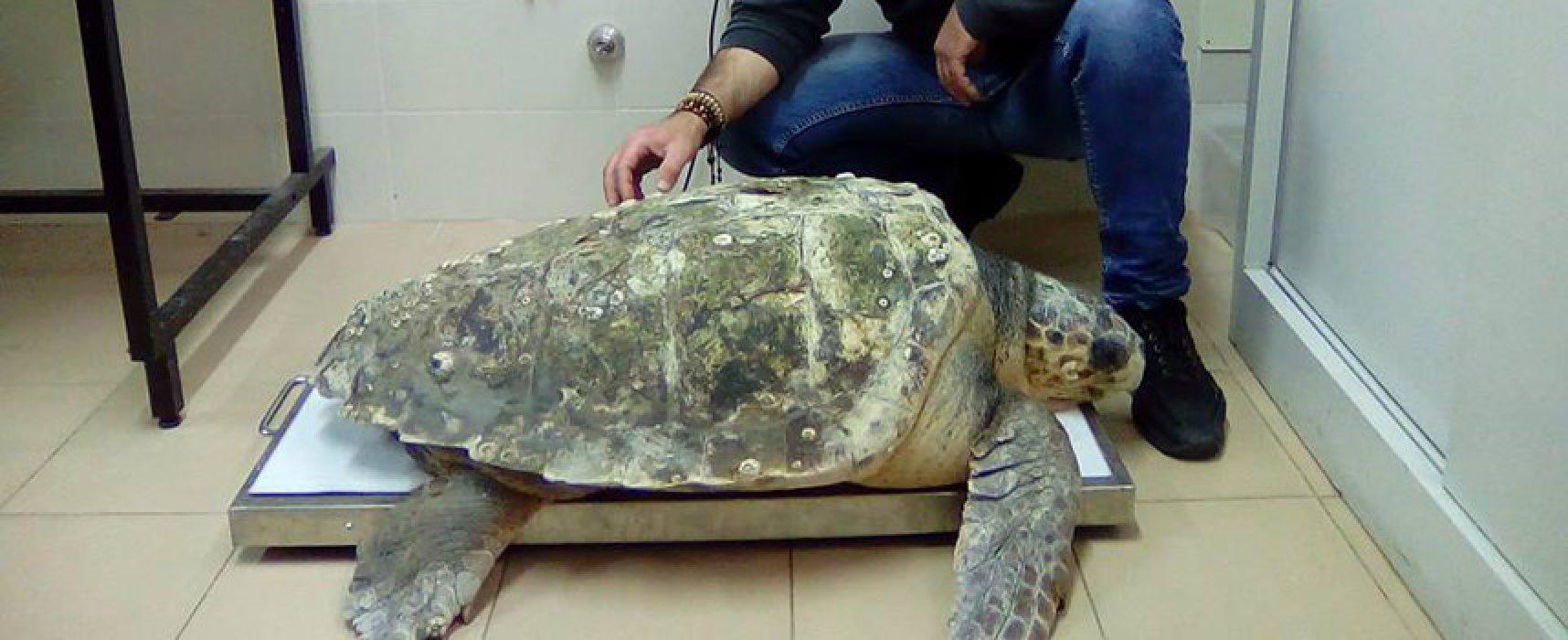 """Tartaruga marina di ben 61kg salvata dal motopesca biscegliese """"Francesco padre"""""""