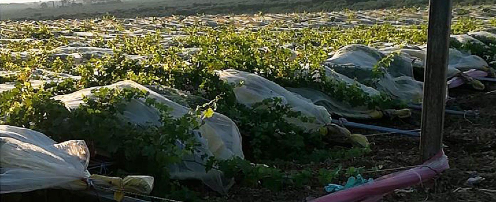 Danneggiato vigneto di azienda agricola biscegliese, solidarietà di Cigl e Flai Cigl Bat