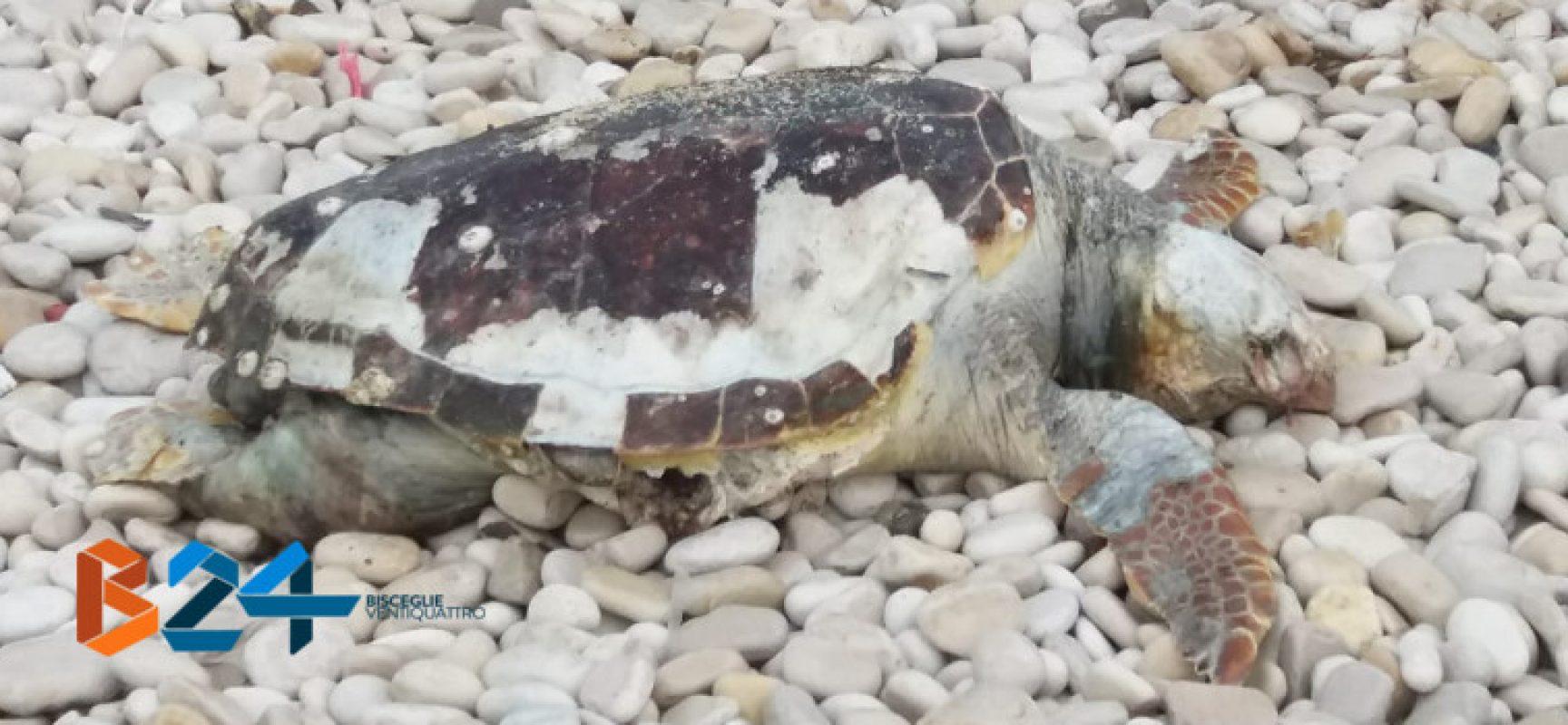 Carcassa di tartaruga marina ritrovata alla seconda spiaggia