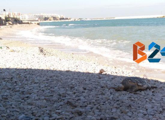 Seconda spiaggia, non ancora rimossa carcassa di tartaruga ritrovata quattro giorni fa