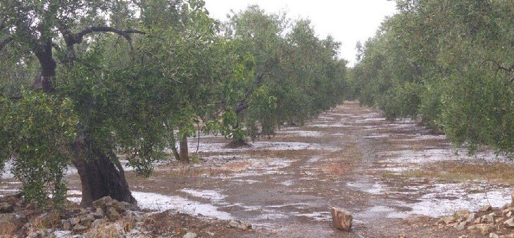 """Gelate in Puglia, Piarulli: """"Si quantifichino e liquidino i danni in favore degli agricoltori"""""""
