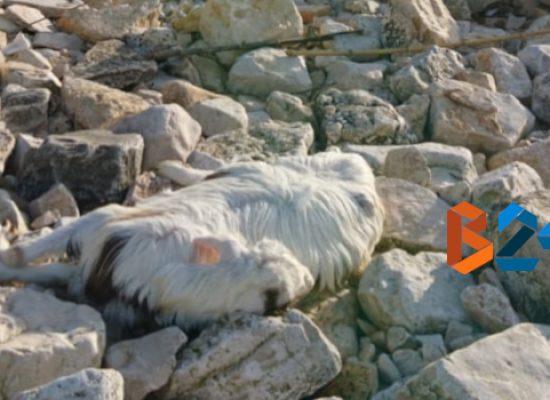 Carcassa di capra ritrovata sulla spiaggia del Teatro Mediterraneo