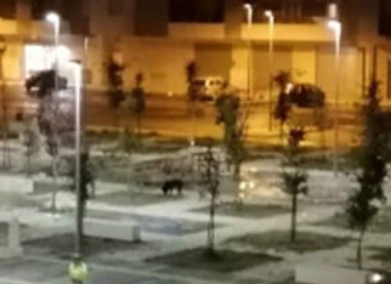 Cinghiale avvistato nella notte in zona 167