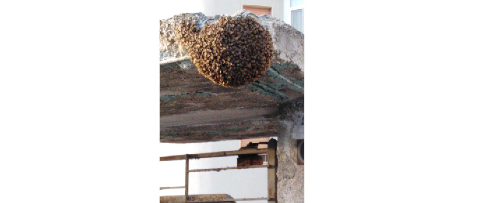 Alveare di api crea panico in via Fondo Noce, interviene Polizia Locale con apicoltore / VIDEO