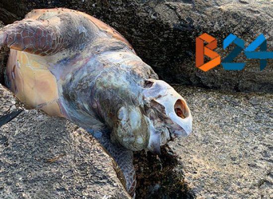 Segnalata carcassa di tartaruga spiaggiata in zona lungomare Paternostro