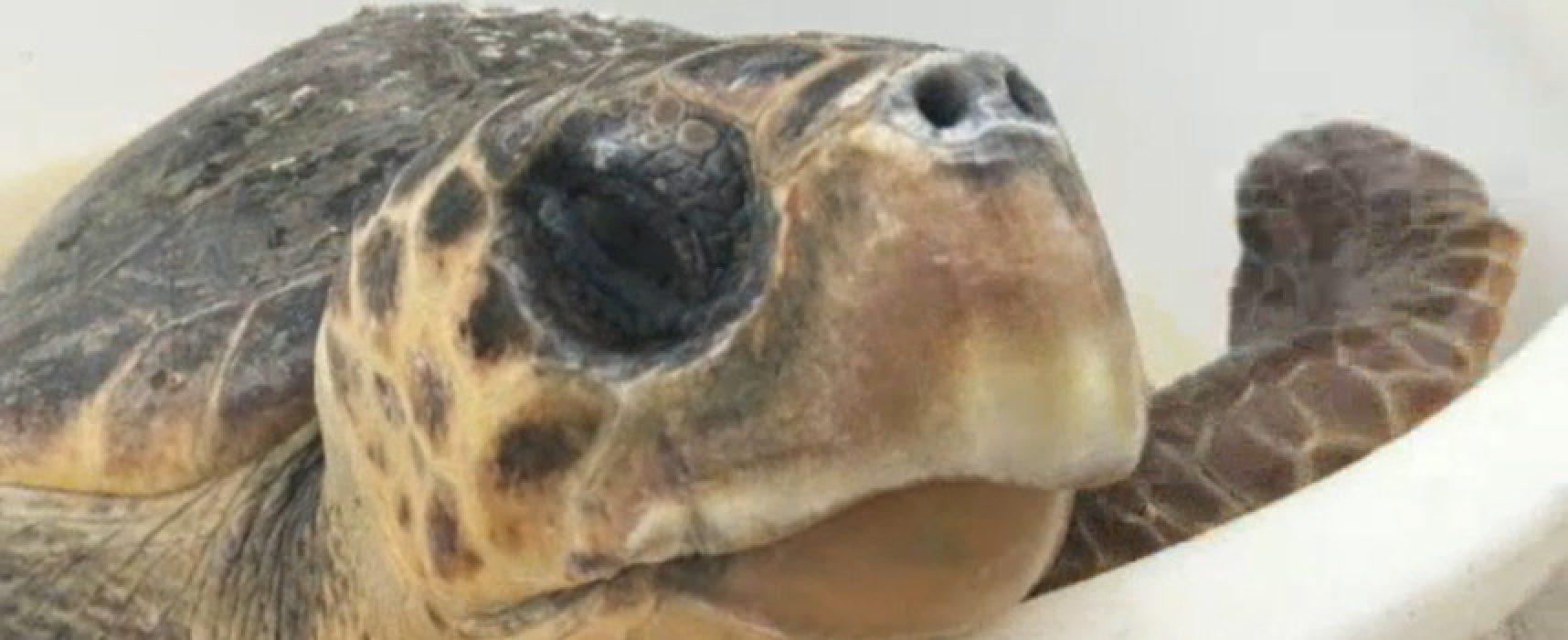 Tartaruga curata e liberata nel mare di Bisceglie per la seconda volta