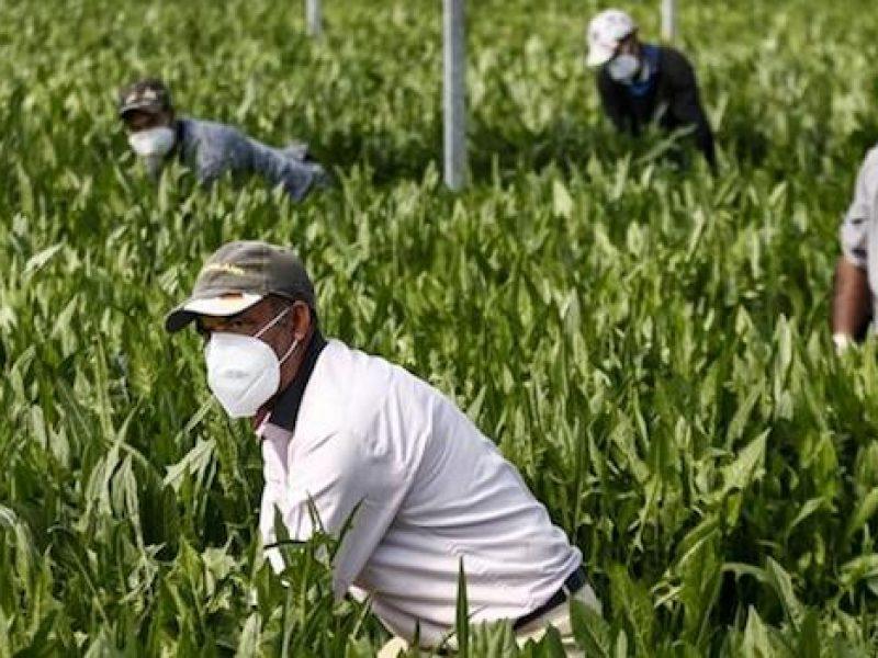 Cimala Ebat, al via distribuzione 30.000 mascherine gratuite a lavoratori agricoli